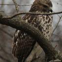 red shoulder hawk(immature)