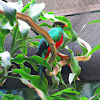 Golden- headed Quetzal
