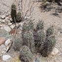 Hedgehog cactus (Engelmann's)