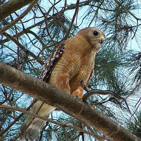 Hawk With A Snake Dinner by Ed Hanson - Animals Birds ( snake, tree, hawk )