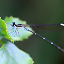 Goldtail damselfly