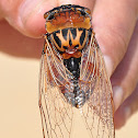 Double Drummer Cicada