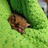 Eastern Tricolored bat