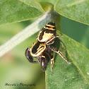 Wasp mimic Jumping Spider