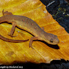 Red eft (Eastern red-spotted newt)