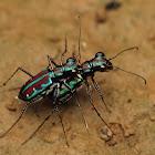 Azure Tiger Beetles