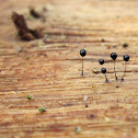 Comatricha nigra[black ]-(nl - Langstelig kroeskopje )