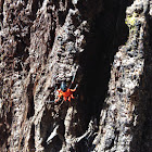 Red-black spider