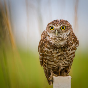 On the lookout  by Liza Chevres - Animals Birds ( burrowing owl adult ready to hunt,  )