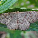 Pannaria Wave Moth