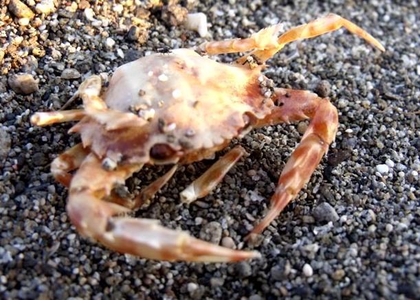 decapod crustaceans