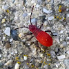 Red Shouldered Bug{Nymph}