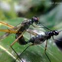 White-sox Fly, Stilt-legged Fly Mating