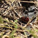 Transverse ladybird/beetle