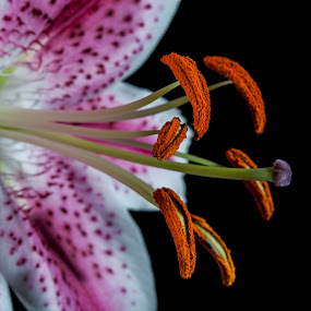 open beautiful by Star Image - Flowers Single Flower ( lilly macro close pink white,  )