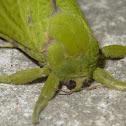 Aenetus eximia (♀)
