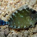 Spotted Unicornfish (juvenile)