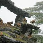 The Barbary Sheep