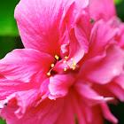 Hibiskus, Hibiscus