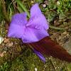 Purple bromelia