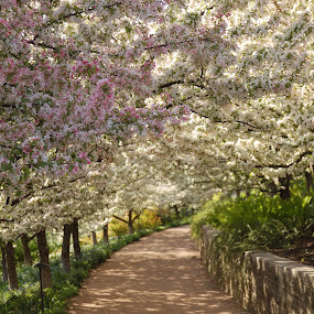 Around the bend by Austin Lawler - Flowers Tree Blossoms ( park, flowering trees, path, flowers, garden,  )