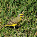 Yellow-fronted Canary (Male)