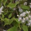 Fragrant Eupatorium Herb