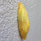 African Banana Slug