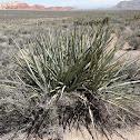 Mojave Century Plant