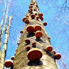 Birch Polypore Mushrooms