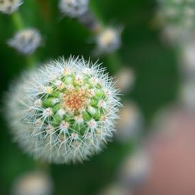 Cactus 0714-A by Benjamin Howen III - Nature Up Close Other plants ( macro, nature, petals, bloom, flower, cactus )