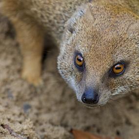 MONGOOSE STALKING A WORM by John Dutton - Animals Other Mammals ( worm, desert, mongoose, mammal )