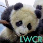 baby panda lwp icon