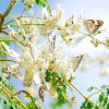 African Veined White Butterfly