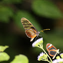 Olyras Clearwing