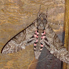 Pink Spotted Hawk Moth