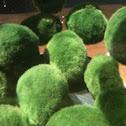Japanese Marimo Moss Balls