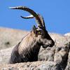 Gredos Ibex or Western Spanish Ibex