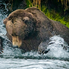 Lurch by Jerry Alt - Animals Other Mammals ( bear, grizzly, fish, alaska, falls, salmon, brown, fishing )