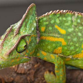 you looking at me by Kevin Towler - Animals Reptiles ( macro, nature, wildlife, reptile, close up, chameleon,  )