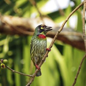 Coppersmith Barbet by Asim Mandal - Animals Birds