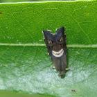 Cheshire Cat Moth