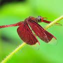 Red Grasshawk (aka Common Parasol)