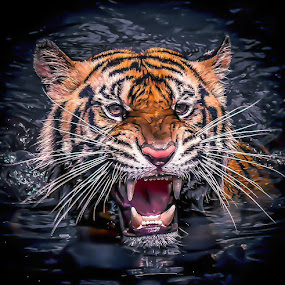 angry by Ricky Agvirty - Animals Lions, Tigers & Big Cats