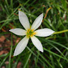 Fairy lily / White rain lily