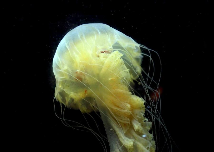 The Jellyfish by Arindam Saha - Animals Fish ( fauna, fish, underwater world, under the sea, jellyfish )