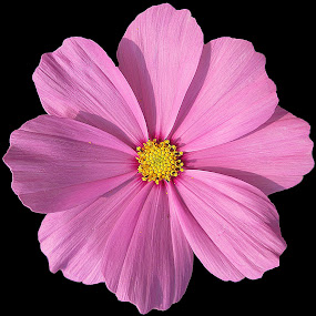 Cosmos... by Soumitra Haldar - Flowers Single Flower