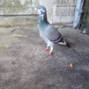 Royal racing pigeon