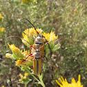 Longhorned beetles