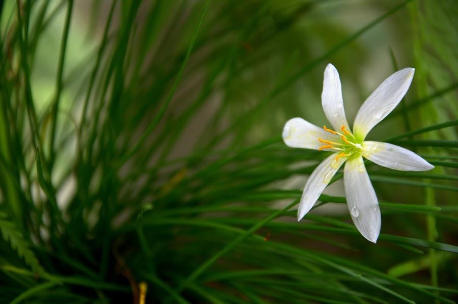 Pureness by Lem Kenhook - Flowers Single Flower